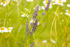 Camomiles and lavenders Stock Photography