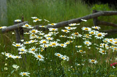 Camomiles on a meadow Stock Images