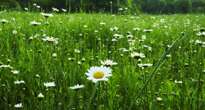 Camomiles meadow Royalty Free Stock Photography
