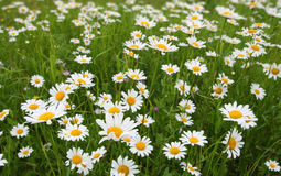 Camomiles on meadow Royalty Free Stock Image
