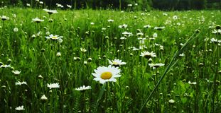 Camomiles meadow Stock Photography