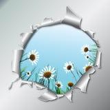 Camomiles in metallic hole Stock Photo