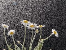 Camomiles na chuva Imagens de Stock