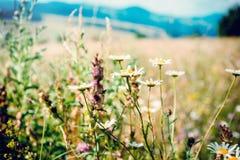 Camomiles nas montanhas Foto de Stock