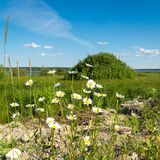 Camomiles on natural landscape background Stock Photos