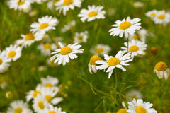 Camomiles, nature background Royalty Free Stock Images