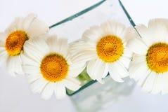 Camomiles no vaso de vidro no fundo branco Fotografia de Stock