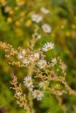 Camomiles, onder het groene gras in de zomer op het gebied Zachte Achtergrond Royalty-vrije Stock Afbeeldingen