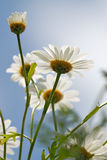 Camomiles over blue sky Royalty Free Stock Photography