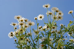 Camomiles over blue sky Stock Images
