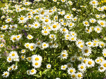 Camomiles (ox-eyed daisy) Stock Photography
