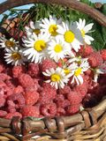 Camomiles and a raspberry. The image of a bouquet of camomiles on a raspberry in the big basket Royalty Free Stock Photos