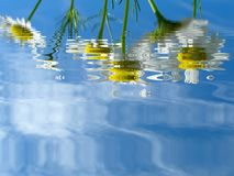 Camomiles. Reflection Stock Photo
