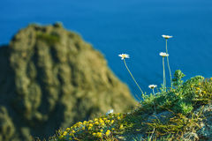 Camomiles on rock Royalty Free Stock Photo