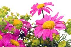 Camomiles rosados macros Foto de archivo