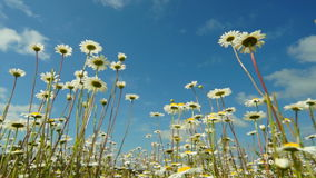 Camomiles and sky stock video footage