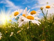 Camomiles, sole e cielo blu di silenzio. Fotografie Stock