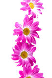 Camomiles. Spring flowers Royalty Free Stock Photo