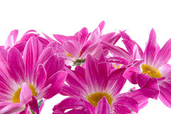 Camomiles. Spring flowers Royalty Free Stock Image