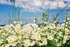 Camomiles in the summer. White camomiles in the summer morning against the sky at the sea Stock Photography
