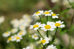 Camomiles in a summer garden Royalty Free Stock Photography
