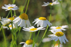 Camomiles. Summer meadow. Royalty Free Stock Photography