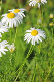 Camomiles. Summer meadow. Royalty Free Stock Photo