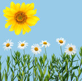 Camomiles, sunflower and cyan sky Stock Photo