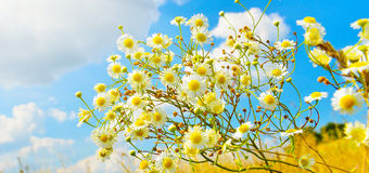 Camomiles Royalty Free Stock Photography