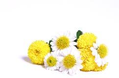 Camomiles und Chrysanthemen. Lizenzfreies Stockbild