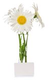 Camomiles in vase and an empty card Royalty Free Stock Photo