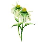 Camomiles verdes pintados na aquarela em um fundo branco Fotos de Stock Royalty Free