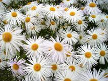 Camomiles - white fine flowers on the flower-field stock photography