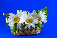 Camomiles in a wicker basket on a blue background. Royalty Free Stock Photos