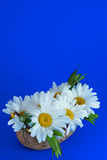 Camomiles in a wicker basket on a blue background. Variant greeting card Royalty Free Stock Photos