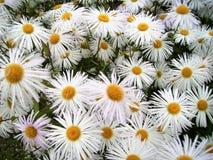 Camomiles - witte fijne bloemen op het bloem-gebied stock fotografie