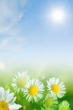 Camomiles y cielo azul Fotografía de archivo libre de regalías