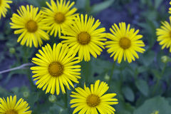 Camomiles yellow macro Royalty Free Stock Images