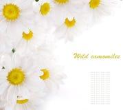 camomilesfältet blommar vita gröna leaves fotografering för bildbyråer