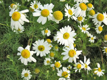 Camomilie. Beautiful white camomilies field flower spring scenic background stock image