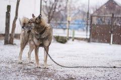 Cane sulla catena immagini stock libere da diritti