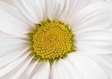 Camomilla bianca Fotografia Stock