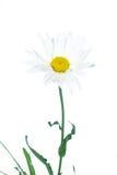 Camomilla bianca fotografia stock libera da diritti