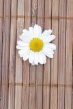 Camomilla bianca Immagini Stock