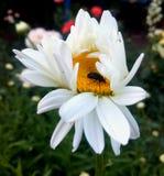 Camomilla bianca con un insetto fotografia stock libera da diritti