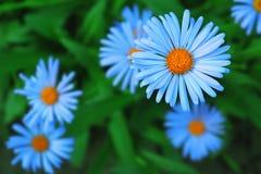 Camomilla blu Fotografia Stock