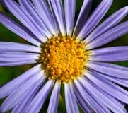 Camomilla blu scuro Fotografie Stock Libere da Diritti