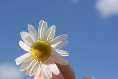 Camomilla contro il cielo Una bella scena della natura con il camoscio medico di fioritura Medicina alternativa Camomilla Fotografia Stock Libera da Diritti
