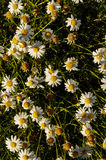 Camomilla Daisy Flowers. Some Fresh Yellow and White Camomilla Daisy Flowers royalty free stock images