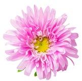 Camomilla del crisantemo della margherita isolata su fondo bianco Immagini Stock